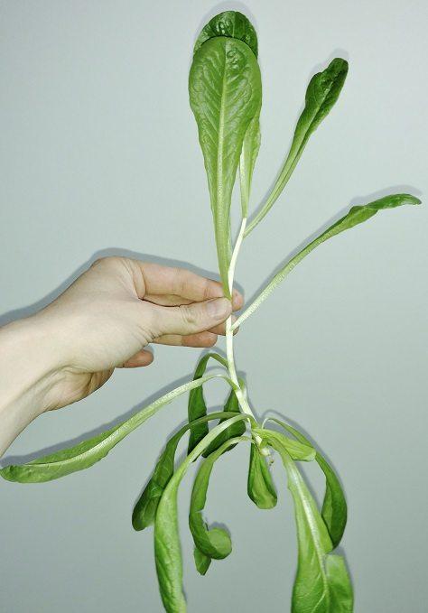 salata rzymska zielona nawóz sztuczny