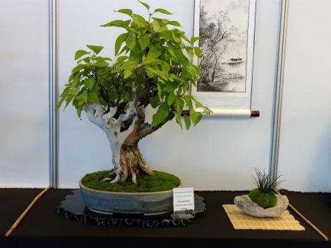 lilak pospolity bez bonsai