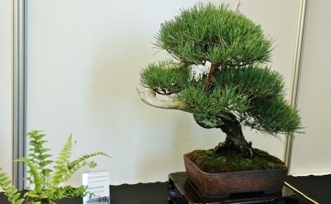 sosna bonsai